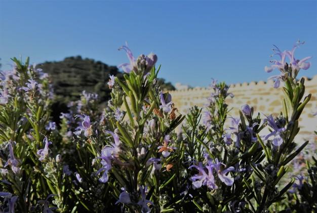 Mid Winter Rosemary