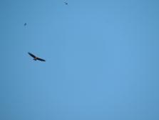 Buzzard with Swallows above