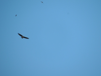 Buzzard with Swallows above