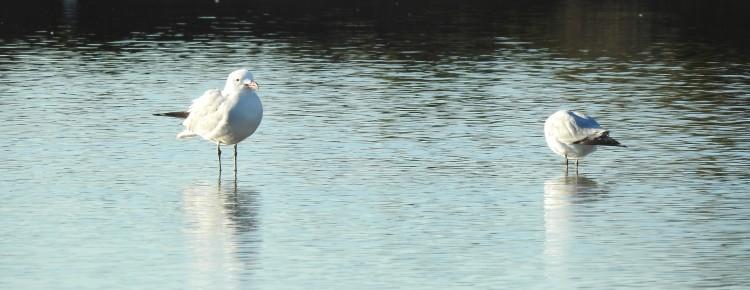 Audouin's Gull - again on the left