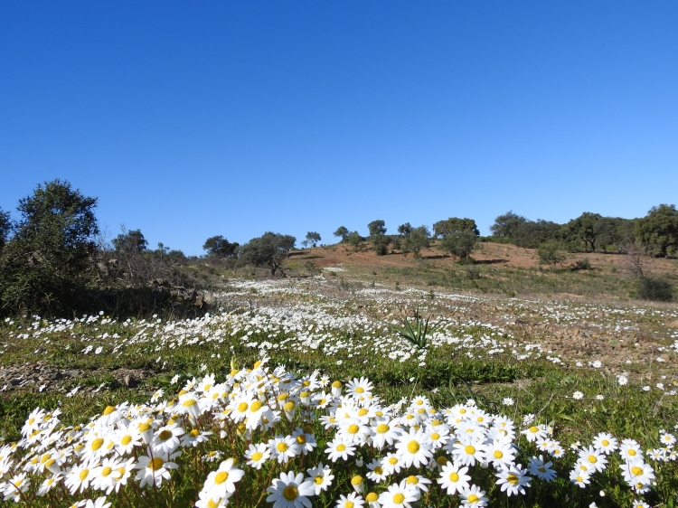 Daisies in the sunshine