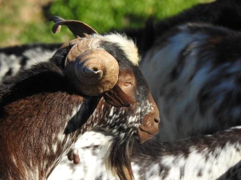 Great horns