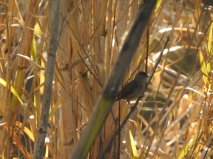 Blackcap (female) in the reeds