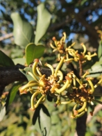 Carob in flower