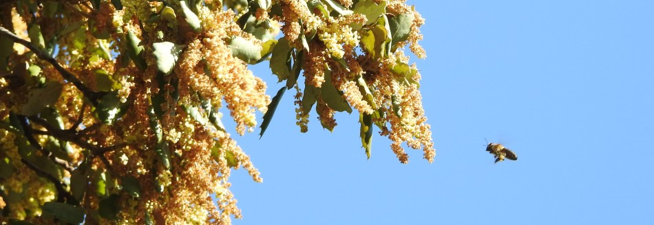 Bee approaching Oak