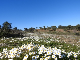 Daisies in the hills
