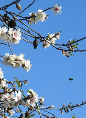 Honeybee en route to Almond Blossom
