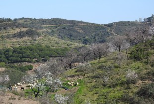 Almond Blossom in the hills