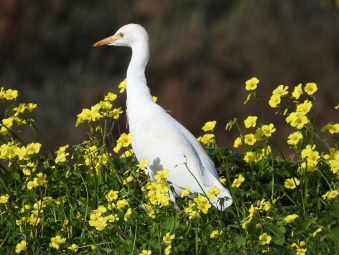 Castle Egret amongst the Bermuda Buttercups