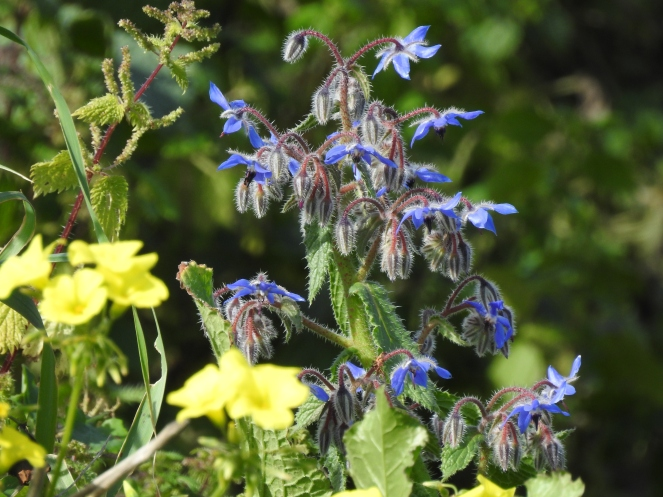 Borage amongst flowering nettles and buttercups