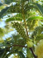 Albizia - but which one I'm not sure