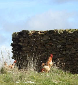 Chickens at the start