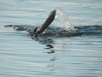 Diving for supper