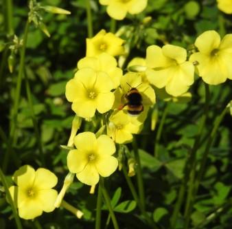 Bee on Bermuda Buttercups