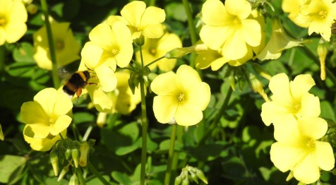 Note the pollen basket