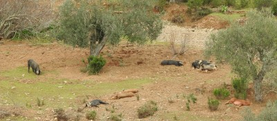 Pigs having their siesta