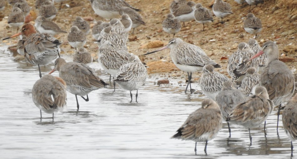 Bar tailed and Black Tailed Godwits