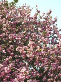 Blooming in spring