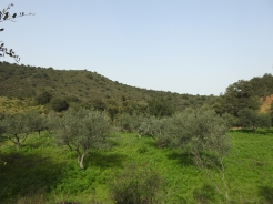 Olive trees and lupins