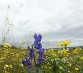Well obviously a narrow leaved lupin, but the best I can say of the yellow is that they are of the mustard family!