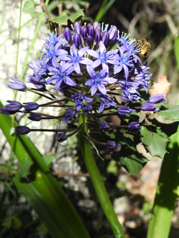 Portuguese Squill with bee