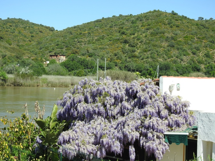 Wisteria by the river