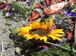 Sunflowers abandoned