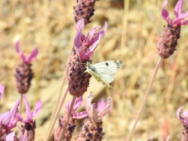 Common white on Lavender