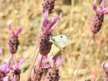 Common white on Lavender