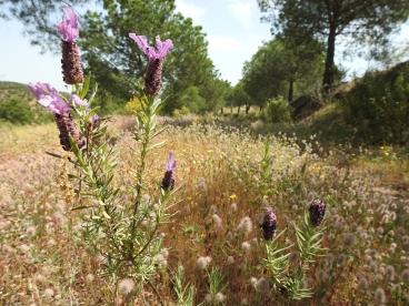Walking on lavender
