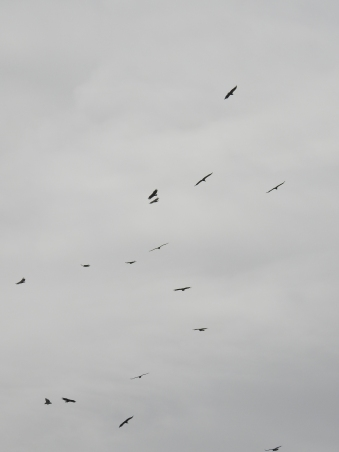 Vultures spiralling