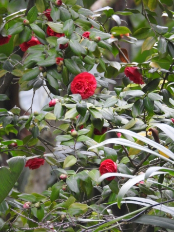 It is known for its rhododendrons and camellias