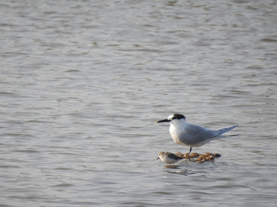 Sandwich Tern in Portugal