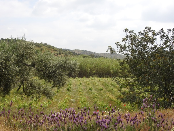Lavender, vines and then huge reed beds!