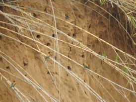 Nesting in the banks