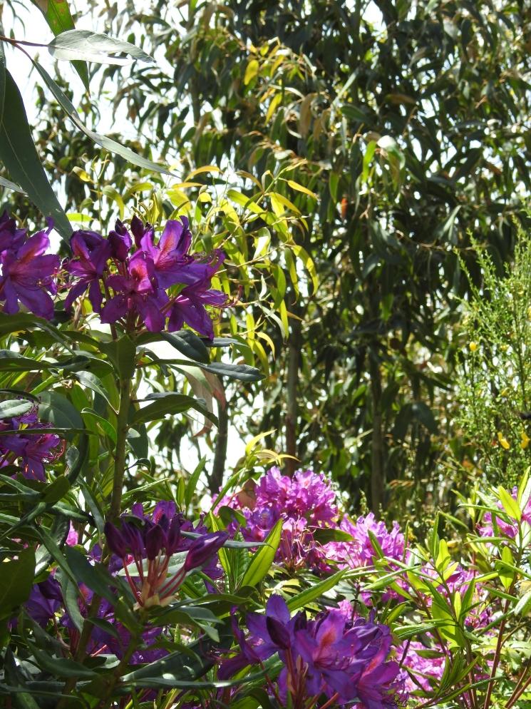 Rhododendron & eucalyptus
