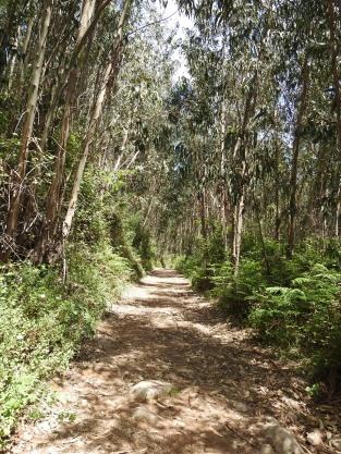 Eucalyptus does make a nice avenue though!