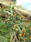 Prickly pears in flower