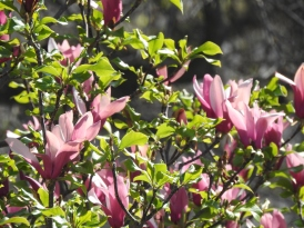 Magnolia in bloom on our visit
