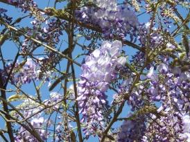 Glorious wisteria