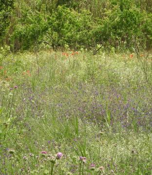 echium, phlomis, poppies and more