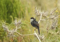 Sardinian Warbler ruffled in the wind