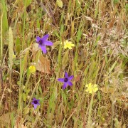 The purple is Bellflower