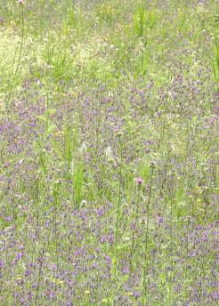 The purple is echium