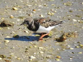 Ruddy Turnstone also looking for supper