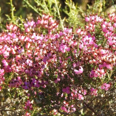 Spanish Heath