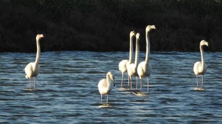 Young Flamingos