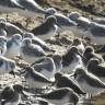 Dunlins, sanderlings and more