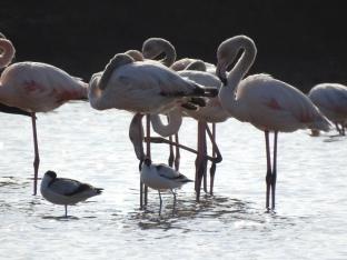 Flamingos and Avocets at dusk