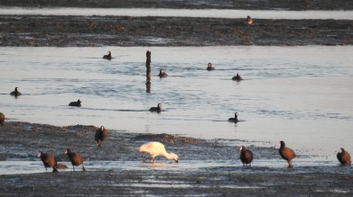 Spoonbill and Coots